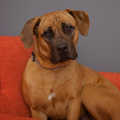 Adopt Cane Corso Mastiff Dog named Delilah
