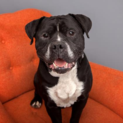Adopt American Staffordshire Terrier Dog named Chato