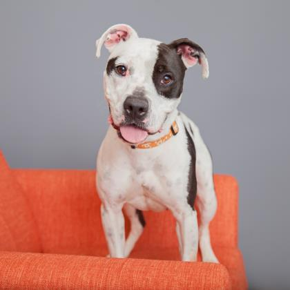 Adopt Pit Bull Terrier Dog named Amelia