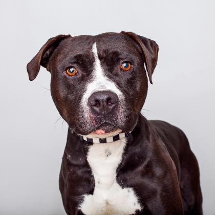 Adopt American Staffordshire Terrier Dog named Huck