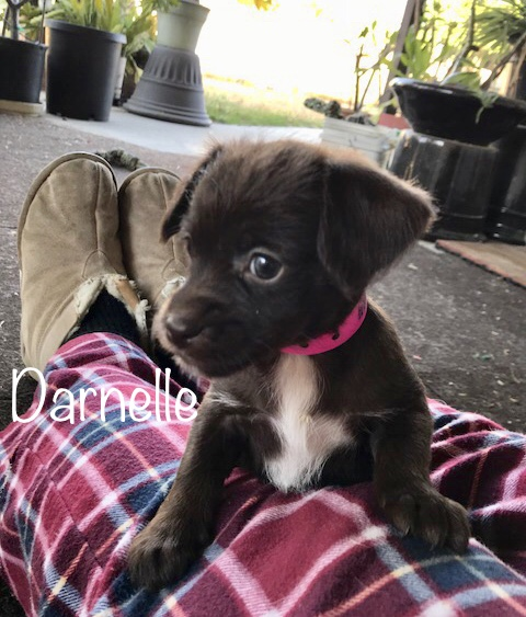 "adopt A Puppy Darnelle ""Ready for Pre-Adoption"""
