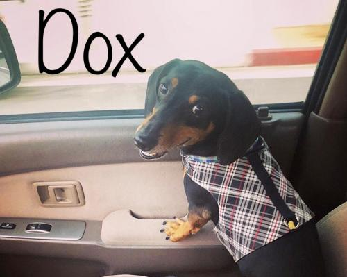 Available For Adoption | Dachshund Rescue of Los Angeles