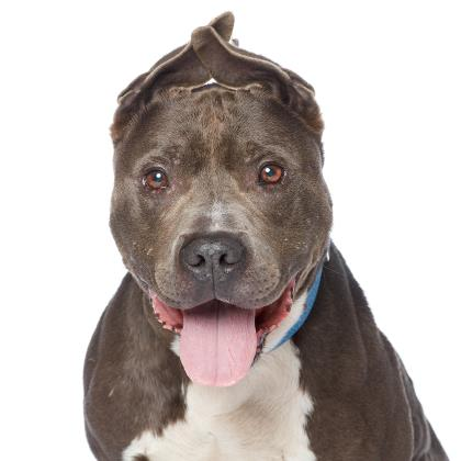 Adopt American Staffordshire Terrier Dog named Dodge