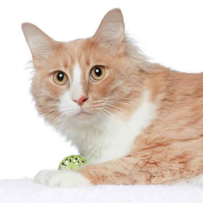 Adopt Maine Coon Cat named Jack