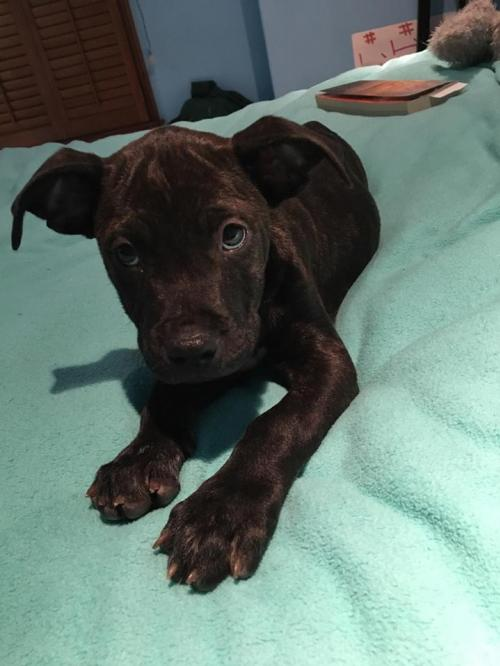 Roxie A Staffordshire Terrier Mix Puppy S Web Page