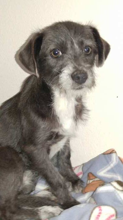 Helia A Norfolk Jack Russell Terrier Mix Puppy S Web Page