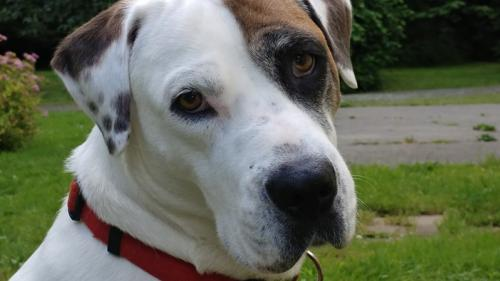 adopt Skye, a great dane mix