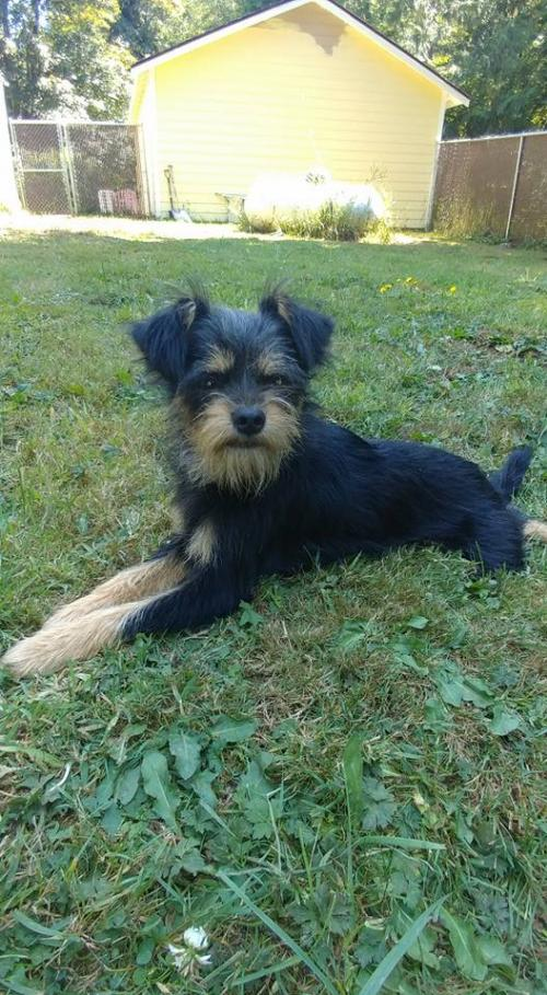 Ace Maggee, A Schnauzer-Cairn Terrier Puppy's Web Page