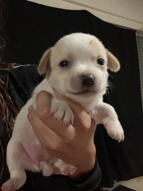 Brule` a Jack Russell-Dachshund puppy