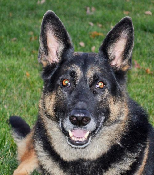 heartland german shepherd rescue sarge s web page 7284