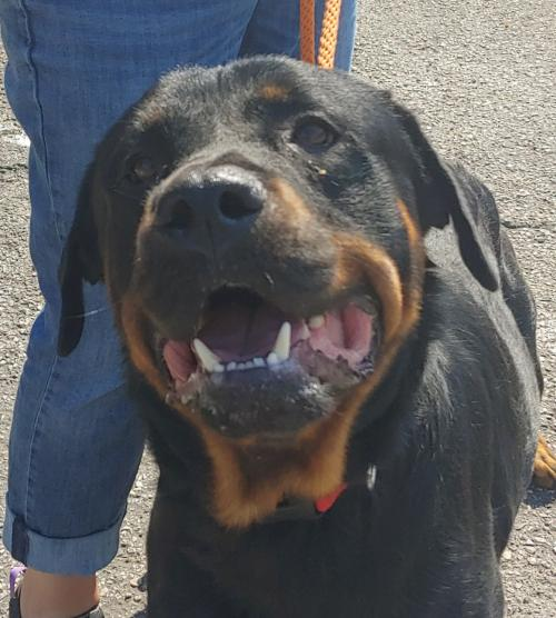 Adopt a Dog   For the Love of Dog - Rottweiler & Pitbull Rescue of NH