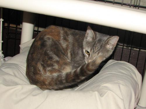 adopt Washta (female kitten)