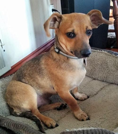 darby 4 in wi dachshund chihuahua mix s web page