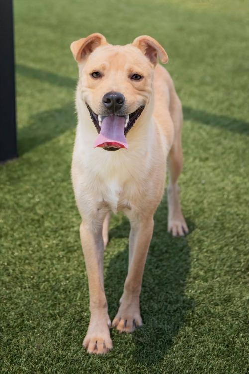 ALDER **Petite Lab Mix Male**
