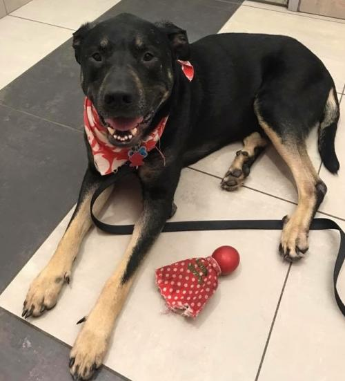 Rottweiler / Great Dane / Mixed (short coat) Dog