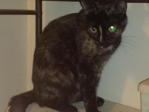 Tortoiseshell (medium coat) Cat