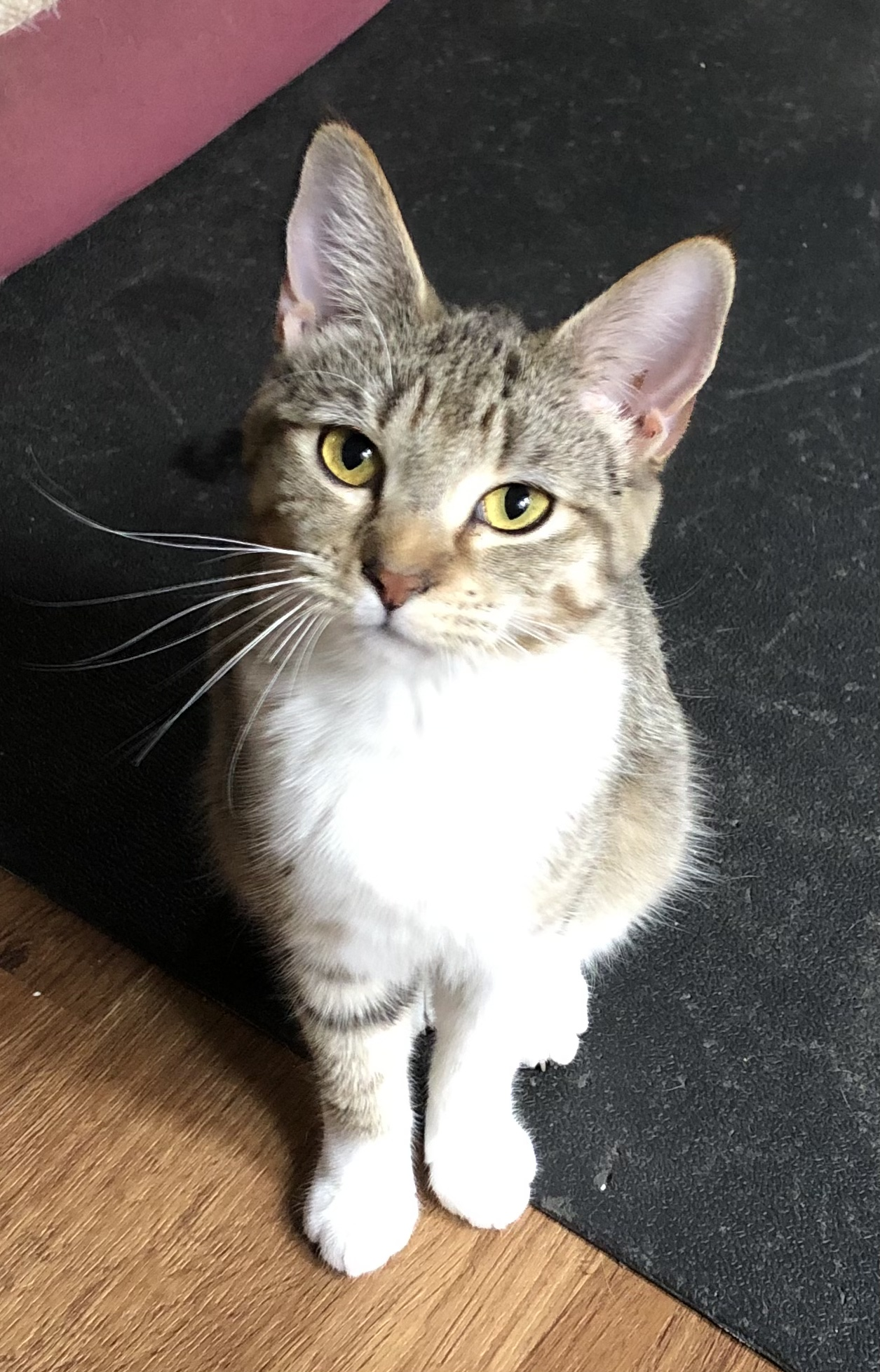 adoptable Cat in Laramie, WY named Sox