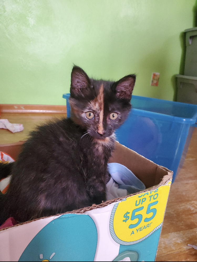 adoptable Cat in Laramie, WY named Trixie