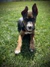 adoptable Dog in , WY named Bryndie (FTF Program Only)