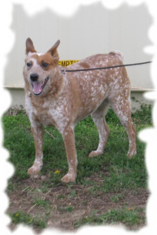 Australian Cattle Dog/Blue Heeler (short coat) Dog