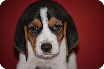 Patches (Beagle Puppy)