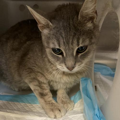 Adopt Domestic Short Hair Cat Named Swaddle Bc Working Cat Best Friends Animal Society Utah