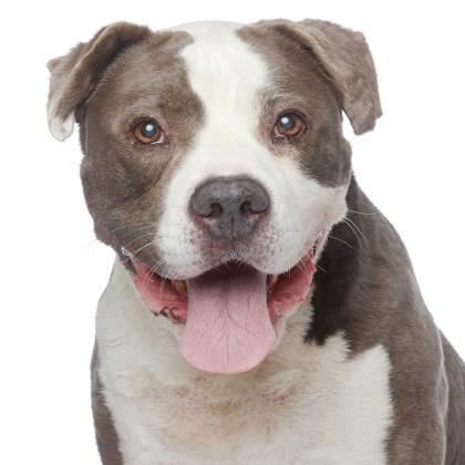 Harvey Milkbone American Staffordshire Terrier Boxer Mixed Male Best Friends Animal Society Los Angeles