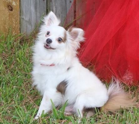 Adoptable Dogs   Small Dog Rescue of New England