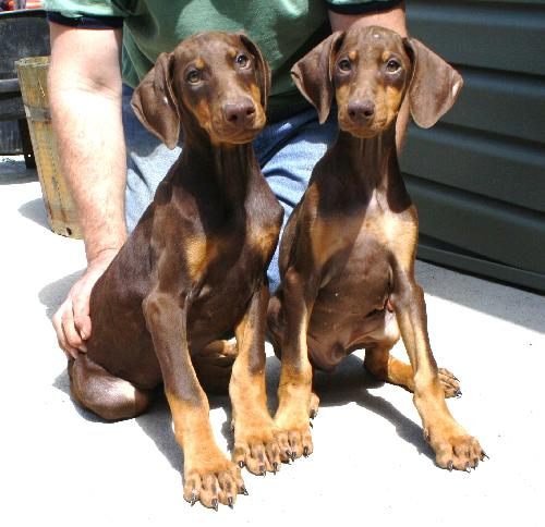 natalie or narnia baby red dobermans 1 m 1f s web page