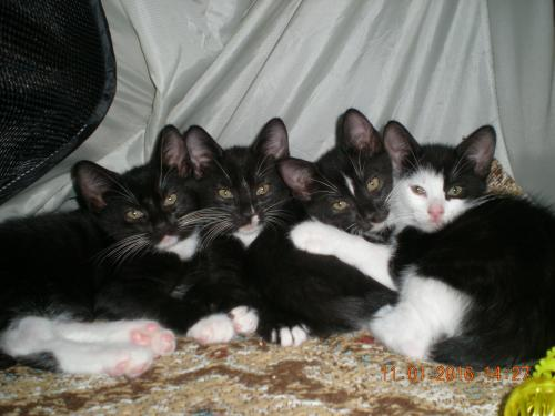 Declawed Cats For Adoption In Orlando
