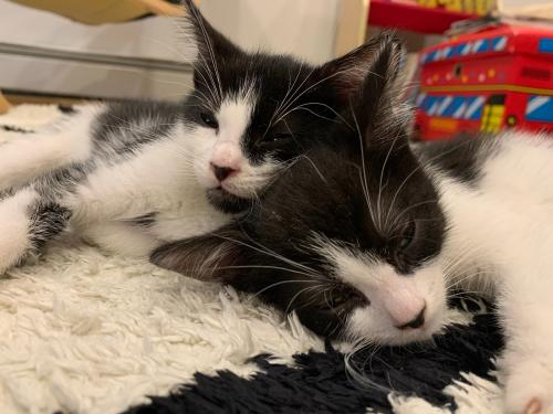 Charlie and Benny KITTENS BONDED PAIR