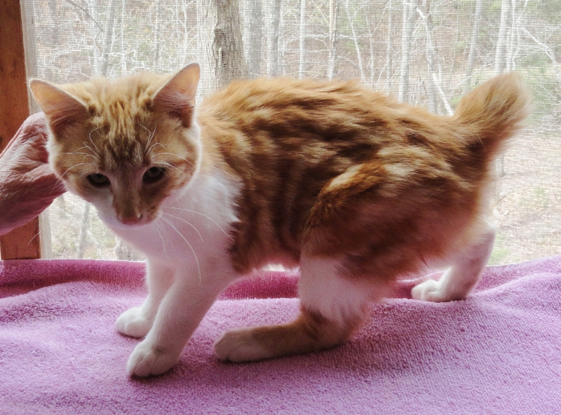 american bobtail pictures information and reviews