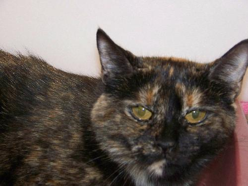 Domestic Short Hair / Tortoiseshell (short coat) Cat
