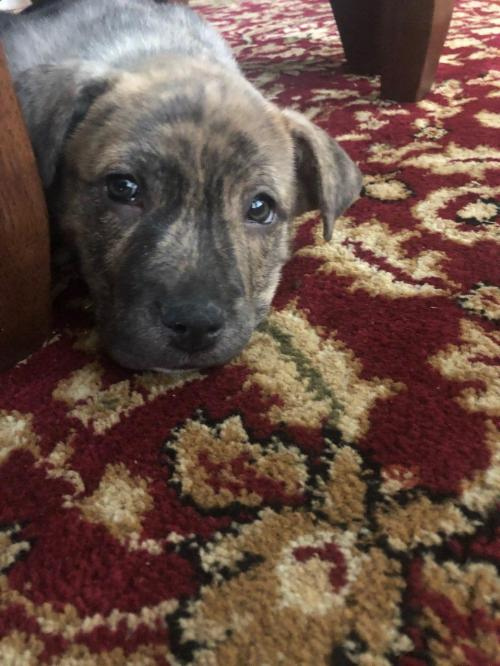 Frances Puppy Foster Needed 2/22