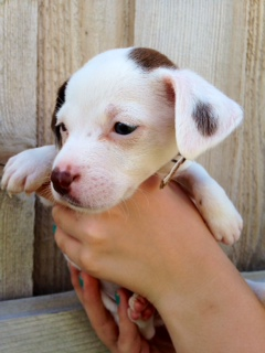 Bashful -Puppy Needs Foster 7/30