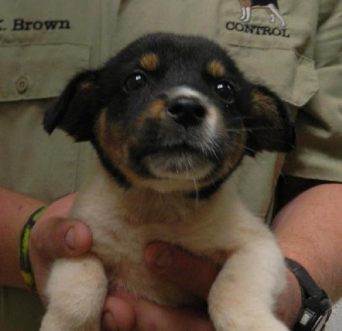 Nugget -Puppy Needs Foster 7/26