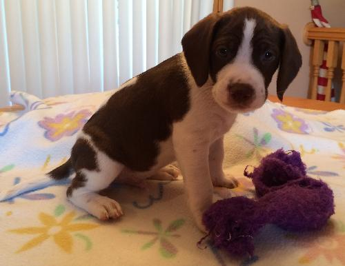 Skipper Puppy - Foster Needed!