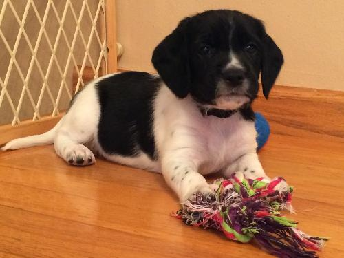 Thurston Howell III Puppy - Foster Needed!