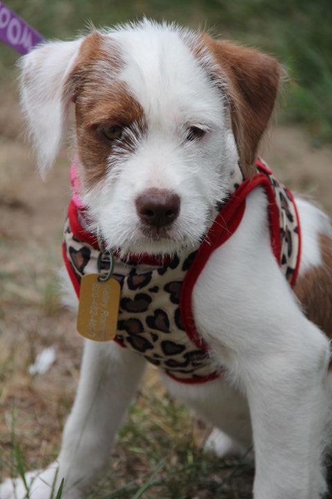 *Patches Puppy - Foster Needed 8/9!