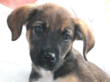 Sawyer Puppy - Foster Needed 8/23!