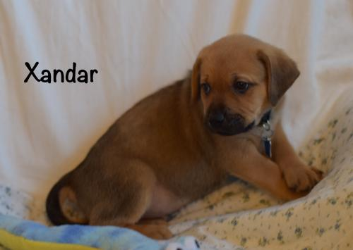 Xandar Puppy - Available for Adoption 3/14!