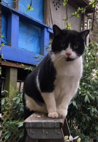 Lost Male Cat last seen Near SW 49th Ave & SW Capital Hwy, Portland, OR 97219