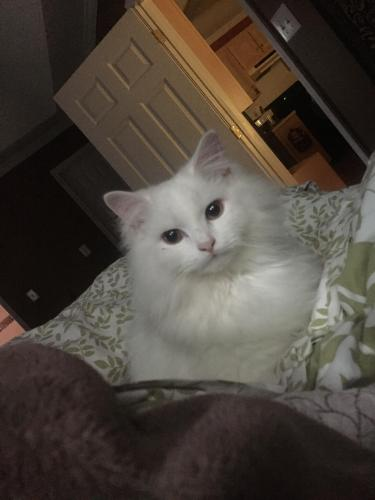 Lost Male Cat last seen Near Jester Pl & Castle Dr, Watkinsville, GA 30677