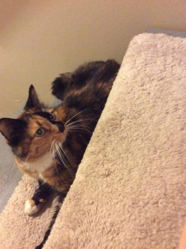 Lost Female Cat last seen Near N Wayland Ave-Foss Ave Aly & N Kilpatrick St, Portland, OR 97203