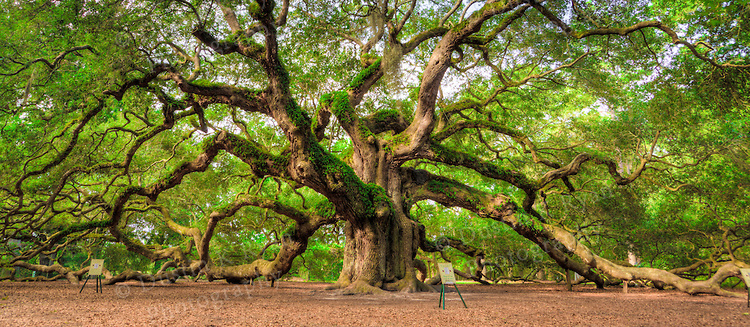 Angel Oak Tree on Johns Island, SC