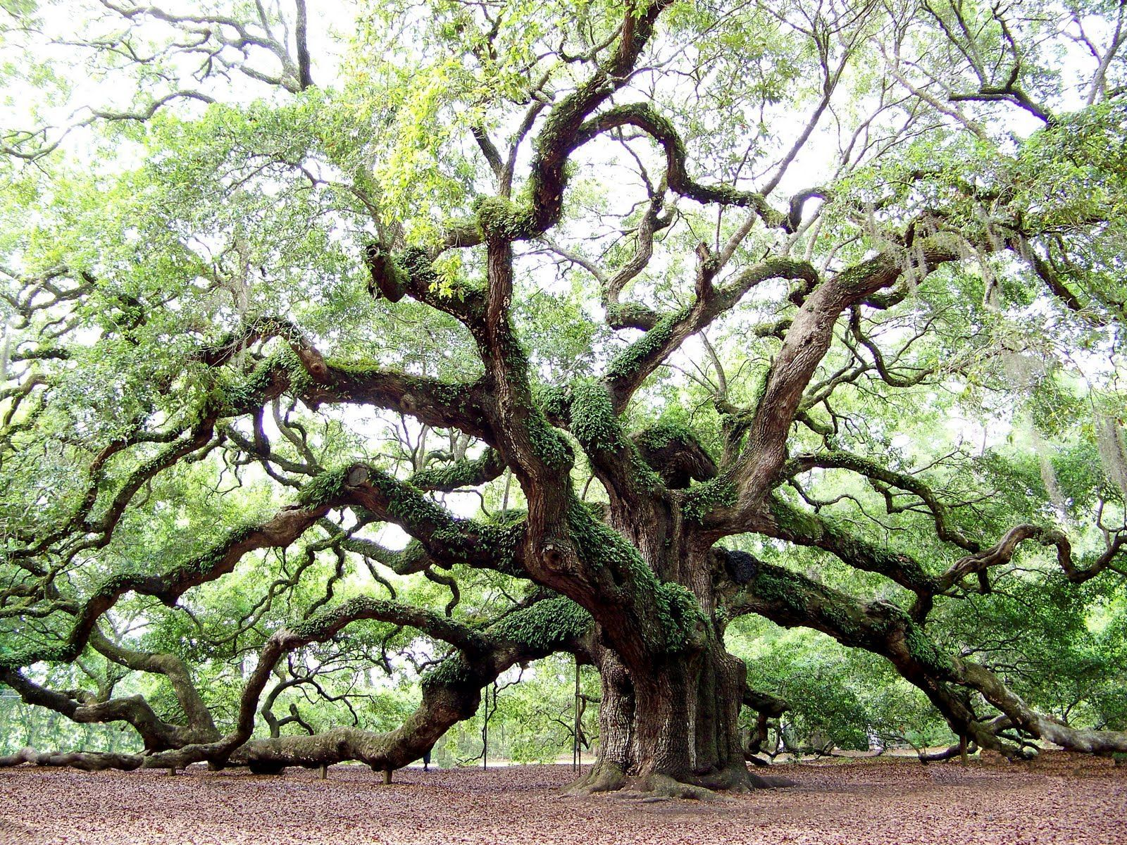Angel Oak on Johns Island, SC