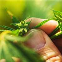 NorCal GCX Cannabis Farmers Marketplace Exchange For Sellers 415-475-9180