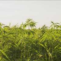 NorCal GCX Cannabis Farmers Marketplace Exchange No Brokers 415-475-9180