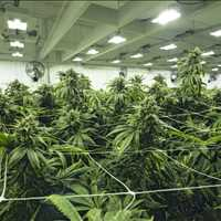 Cannabis Farmers Marketplace Exchange No Agents NorCal GCX 415-475-9180