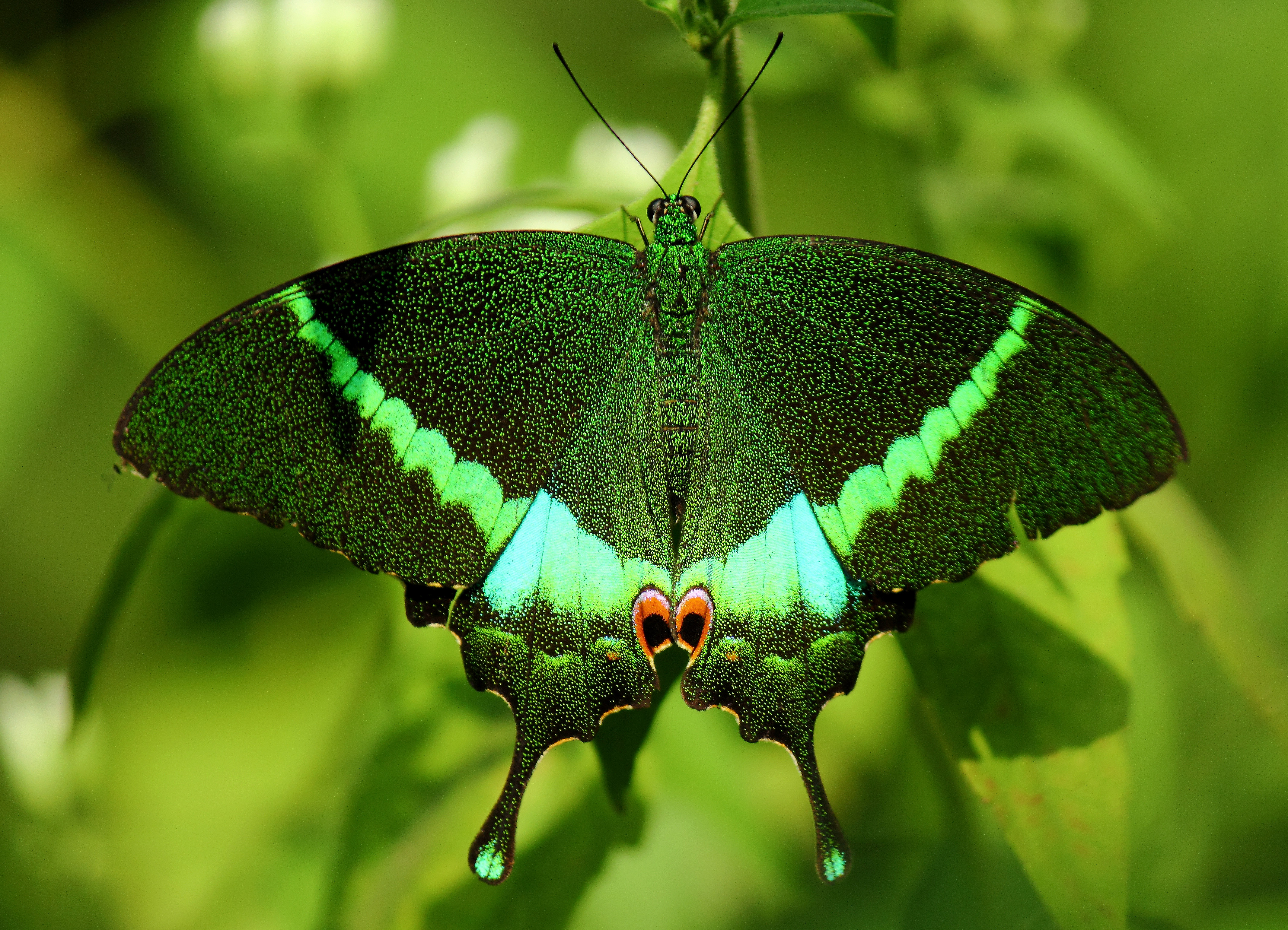 Beautiful Green Butterfly